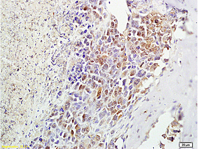 alpha MSH Antibody, Biotin Conjugated