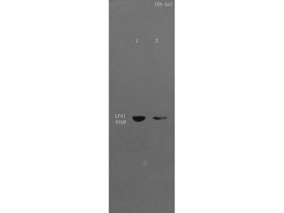 LPAR1 Antibody, Cy3 Conjugated