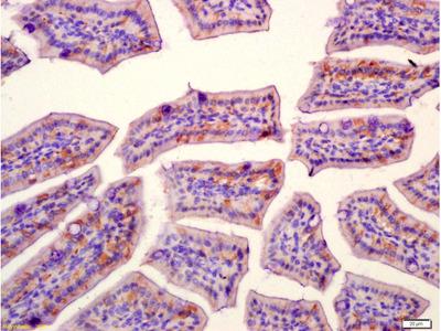 SLAMF7/CD319/CS1 Antibody, Biotin Conjugated
