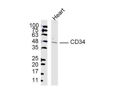 CD34 Antibody, HRP Conjugated
