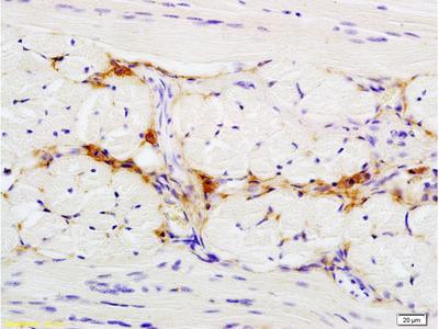 CD47/MER6 Antibody