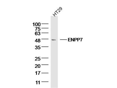 ENPP7 Antibody