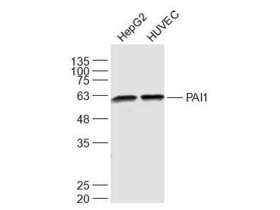 PAI1 Antibody, Biotin Conjugated