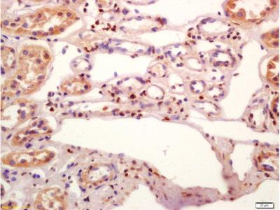 JunD(Ser255) Polyclonal Antibody, Biotin Conjugated