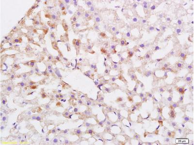 ABCG5 Antibody, Biotin Conjugated