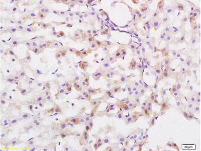 Lysosomal Protective Protein Antibody, Biotin Conjugated