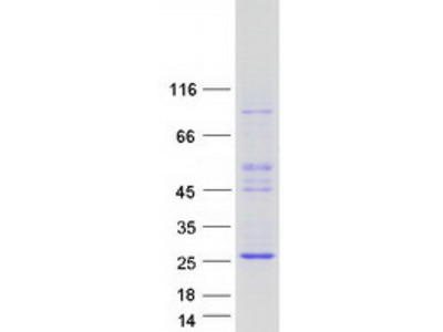 ASCL3 MS Standard C13 and N15-labeled recombinant protein (NP_065697)