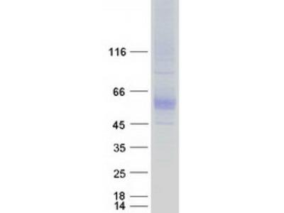 SLC7A4 (NM_004173) Human Mass Spec Standard