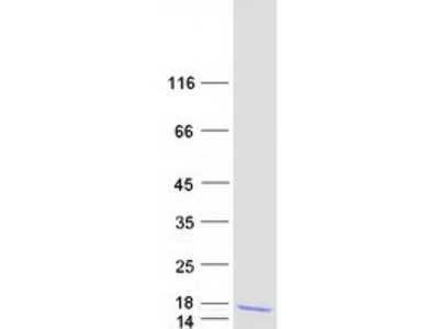 CCL4 MS Standard C13 and N15-labeled recombinant protein (NP_002975)