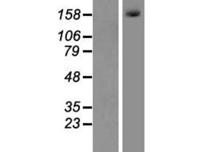 Transient overexpression lysate of mutL homolog 3 (E. coli) (MLH3), transcript variant 2