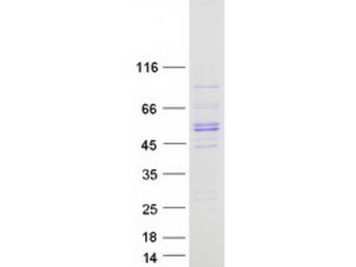 SQOR (NM_021199) Human Mass Spec Standard