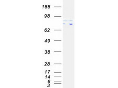 MFN1 MS Standard C13 and N15-labeled recombinant protein (NP_284941)