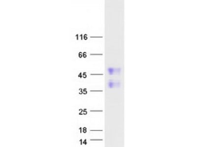 Recombinant protein of human family with sequence similarity 122A (FAM122A)