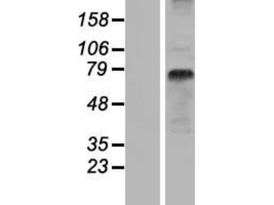 Transient overexpression lysate of solute carrier family 15 (oligopeptide transporter), member 1 (SLC15A1)