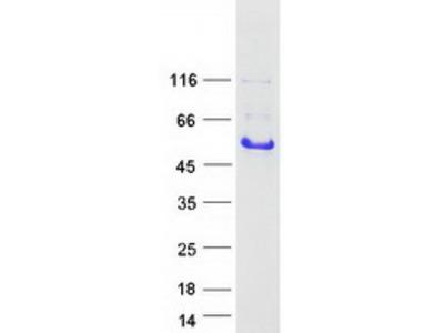 GAP43 (NM_002045) Human Mass Spec Standard