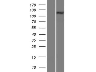Transient overexpression lysate of collagen, type XXVIII, alpha 1 (COL28A1)