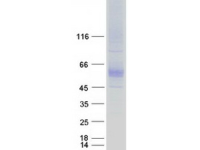 SLC7A4 (NM_004173) Human Recombinant Protein