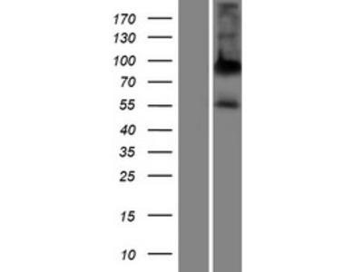 Transient overexpression lysate of alkaline phosphatase, placental-like 2 (ALPPL2)