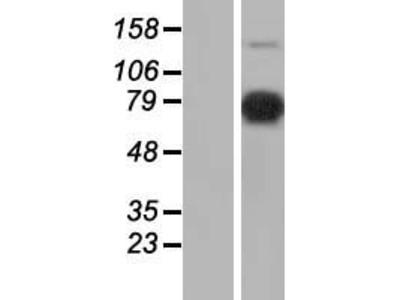 Transient overexpression lysate of splicing factor, arginine/serine-rich 17A (SFRS17A), transcript variant 1