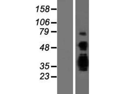 Transient overexpression lysate of achaete-scute complex homolog 3 (Drosophila) (ASCL3)