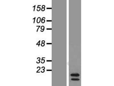 Transient overexpression lysate of chemokine (C-C motif) ligand 24 (CCL24)