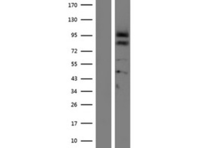 Transient overexpression lysate of proprotein convertase subtilisin/kexin type 4 (PCSK4)
