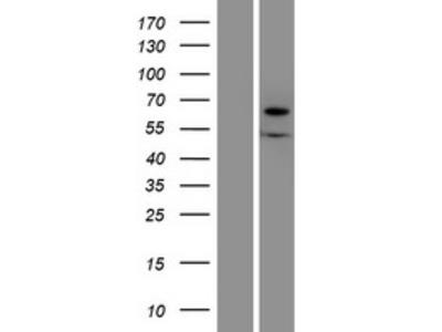 Transient overexpression lysate of xylulokinase homolog (H. influenzae) (XYLB)