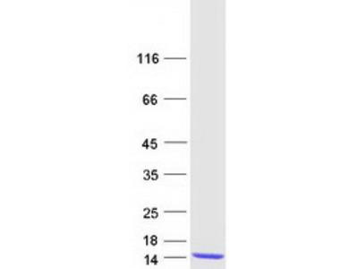 S100 alpha 2 (S100A2) (NM_005978) Human Mass Spec Standard