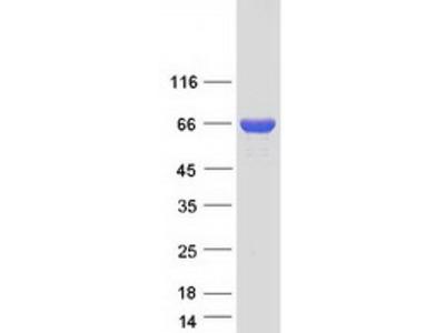 Spindly (SPDL1) (NM_017785) Human Mass Spec Standard