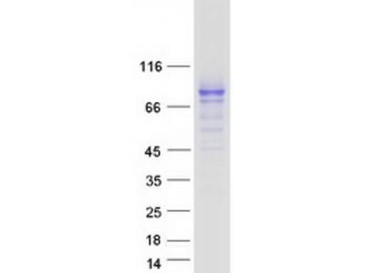 CD98 (SLC3A2) (NM_001012664) Human Mass Spec Standard