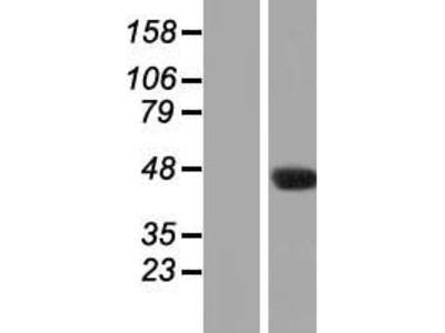Transient overexpression lysate of chromosome 7 open reading frame 52 (C7orf52)