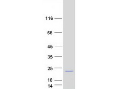 OSTBETA MS Standard C13 and N15-labeled recombinant protein (NP_849190)