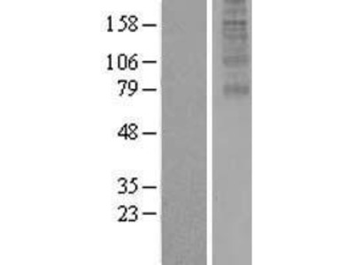 Transient overexpression lysate of family with sequence similarity 127, member B (FAM127B), transcript variant 1