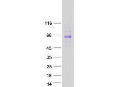 SIGLEC8 (NM_014442) Human Mass Spec Standard