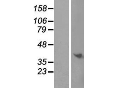 Transient overexpression lysate of chromosome 9 open reading frame 64 (C9orf64)