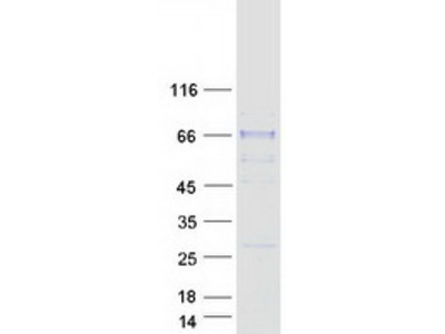 SIAE (NM_170601) Human Mass Spec Standard