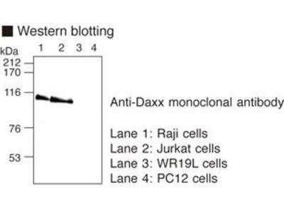 Anti-Daxx (Human) mAb