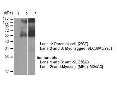 Anti-SLC38A3 (SNAT3) (Human) pAb