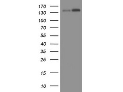 TAF2 mouse monoclonal antibody, clone OTI2A5 (formerly 2A5)