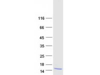 Recombinant protein of human secreted LY6/PLAUR domain containing 1 (SLURP1)