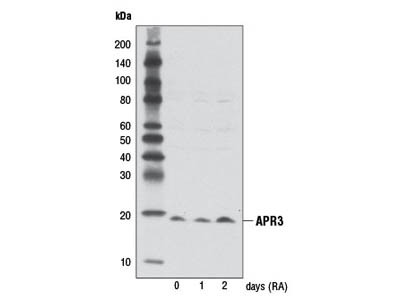 APR3 Antibody