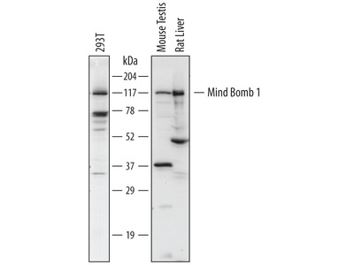 Mind Bomb 1 / MIB1 Antibody
