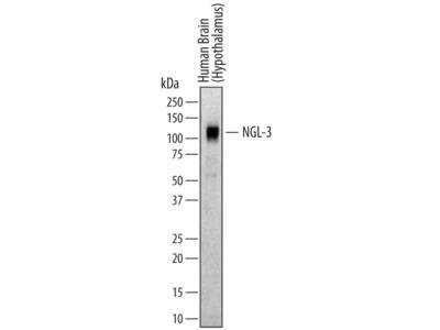 Human NGL-3 / LRRC4B Antibody