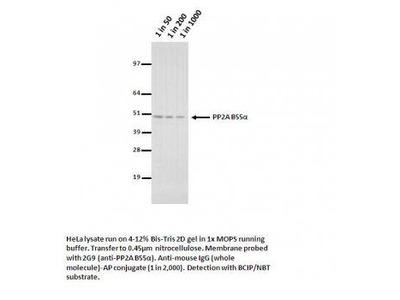 PP2A alpha Antibody [2G9]