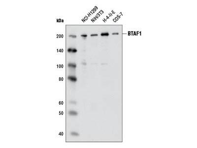 BTAF1 Antibody