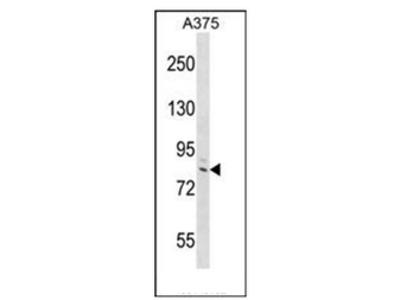 anti DEF6 (C-term)