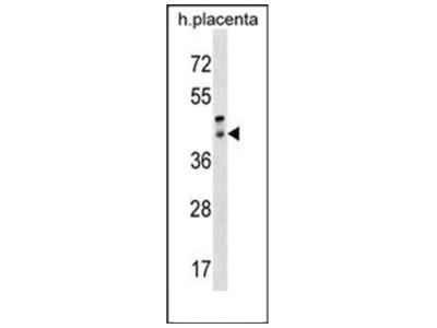 Peropsin (RRH) (C-term) rabbit polyclonal antibody, Aff - Purified