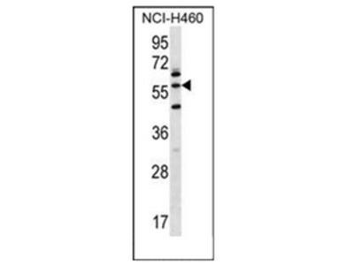 anti LETM2 (N-term)