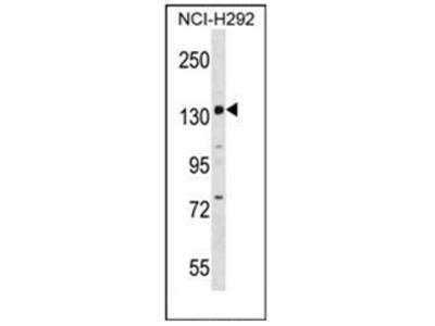 PER1 (C-term) rabbit polyclonal antibody, Aff - Purified