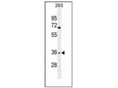 anti Olfactory receptor 4F15 (N-term)
